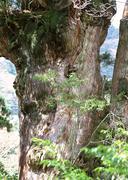 Stock Photo of Yaku Cedar