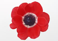 Stock Photo of Anemone