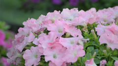 Petunia swaying in the breeze Stock Footage