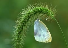 Foxtail and Butterfly Stock Photos