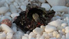 Hermit crab walking on marble beach, Pagurus bernhardus Stock Footage