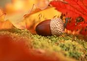 Stock Photo of Acorn and Dead Leaves