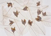 Stock Photo of Skeleton Leaf