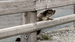 0059 Marmot observing Stock Footage