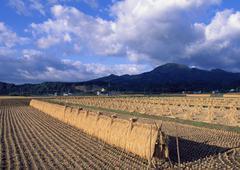 Rice-plant Rack Stock Photos
