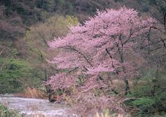 Wild Cherry Tree Stock Photos