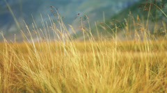 Yellow grass swaying on the wind Stock Footage
