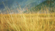 Stock Video Footage of Yellow grass swaying on the wind