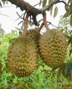 durians on the tree - stock photo