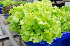 Hydroponic vegetables grown in blue plastic containers. Stock Photos
