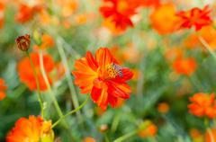Bee and orange  flowers Stock Photos
