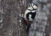 Stock Photo of Great Spotted Woodpecker