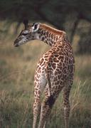 Massai Giraffe Stock Photos