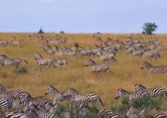 Grant Zebra Stock Photos