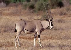 Fringe-eared Oryx Stock Photos