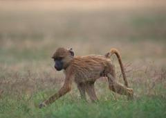 Anubis Baboon - stock photo
