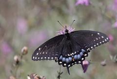Eastern black swallowtail dorsal view Stock Photos