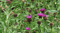 Bee collects nectar on Brown Knapweed (Centaurea jacea) Stock Footage