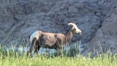 Nature Wildlife Bighorn Sheep Grazing in Pasture on Mountain in Badlands Stock Footage