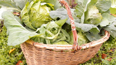 The heads of cabbage are stacked in a basket on the bed in the garden Stock Footage