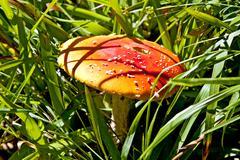 Fly agaric Stock Photos