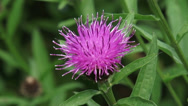 Stock Video Footage of Brown Knapweed (Centaurea jacea) in bloom
