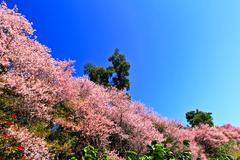 Stock Photo of sakura blooming in winter, north of thailand