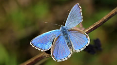 Closeup butterfly of common blue Stock Footage