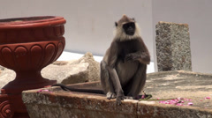Tufted Gray Langur eating lotus flower in the temple Stock Footage