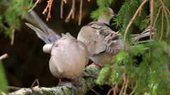Eurasian Collared Dove couple self cleaning - stock footage