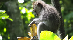 Wild Monkey Eating a Banana in the Forest (1 of 3) Stock Footage
