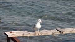 Funny Yellow-legged Gull, Larus michahellis Stock Footage