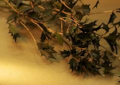 Holly branches - stock photo