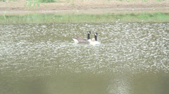 Geese Fobney 05 Stock Footage