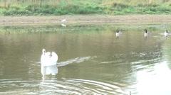 Swan Geese & Egret 02 Stock Footage