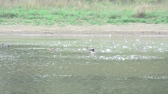 Ducks Fobney nature reserve 08 Stock Footage