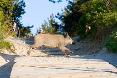 Begging boars on the beach, poland Stock Photos