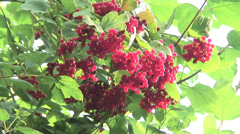 Wild Red Currents 02 - stock footage