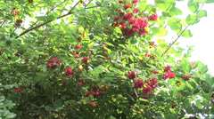 Wild Red Currents 03 - stock footage