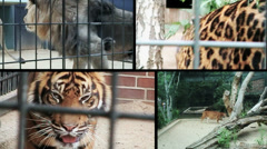 ZOO Big Cats In Cages split screen Stock Footage