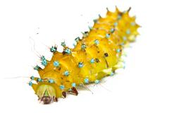 Large caterpillar on a white Stock Photos