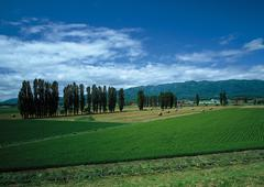 Row of Poplar Trees and Meadows Stock Photos