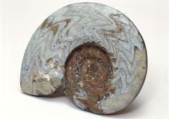 Ammonite - stock photo