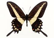 Stock Photo of Swallowtail Butterfly
