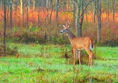 whitetail deer buck - stock photo