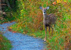 whitetail deer spike buck - stock photo