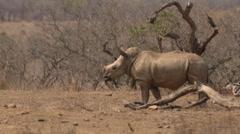 Baby Rhino Stock Footage