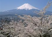 Stock Photo of Cherry Blossom and Mt. Fuji