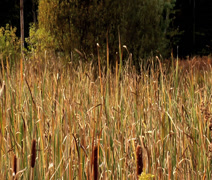 cattails - stock footage