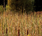 Stock Video Footage of cattails